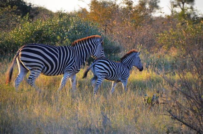 zebra wildlife south africa - 1024×678