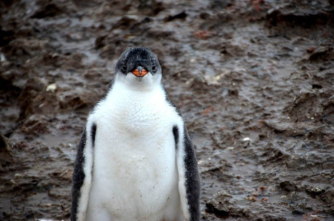 Penguins are a group of aquatic, flightless birds living almost exclusively in the Southern Hemisphere.