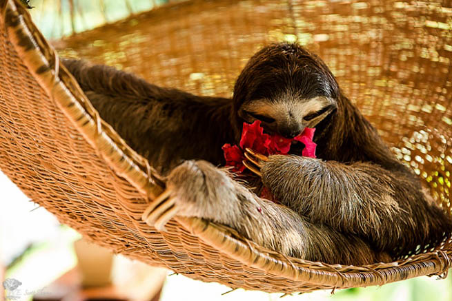 Sloths are medium-sized mammals belonging to the families Megalonychidae and Bradypodidae, classified into six species.