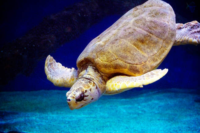 Sea turtles, sometimes called marine turtles are reptiles of the order of Testudines.