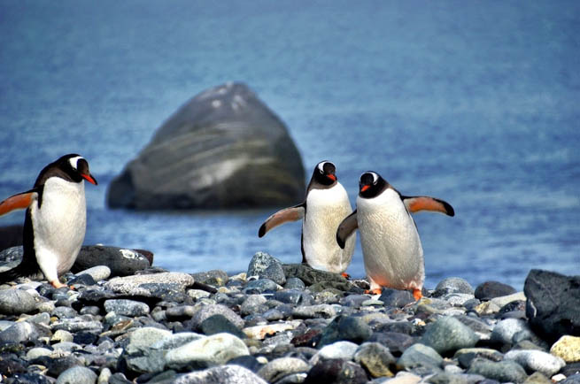 Penguins are a group of aquatic, flightless birds living almost exclusively in the Southern Hemisphere. CT