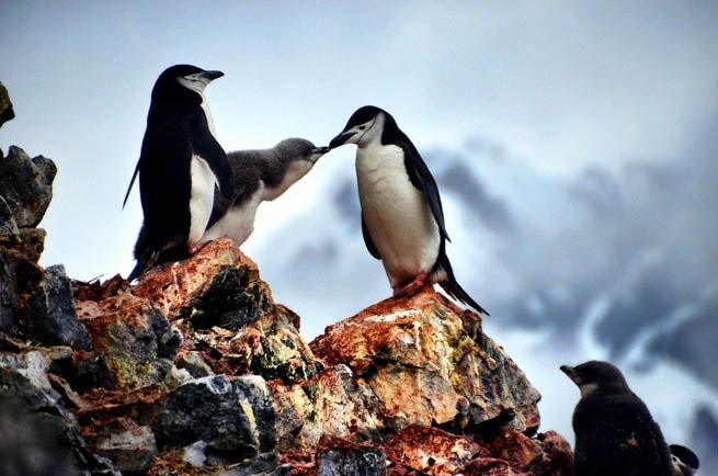 Penguins are a group of aquatic, flightless birds living almost exclusively in the Southern Hemisphere. CT2