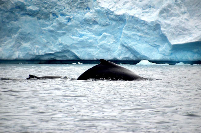 Whale is the common name for various marine mammals of the order Cetacea.  CT