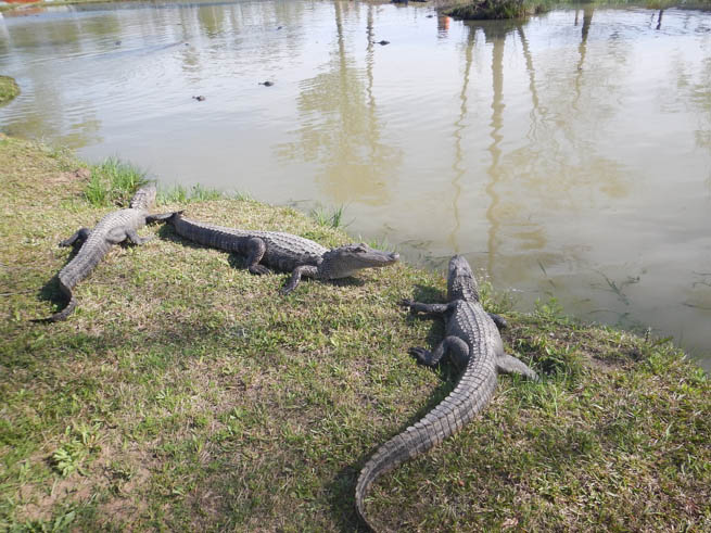 Several alligators rest by the water near the Beaumont, Texas, bike trail.