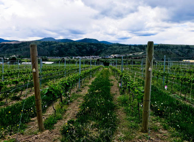 Image of grape plants at a vineyard, where they will be turned into wine.