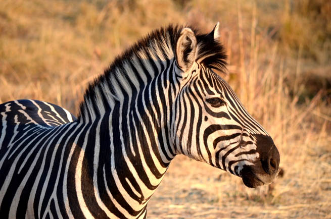 Zebra are several species of African equids united by their distinctive black and white striped coats CT