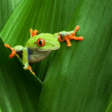 A tree frog relaxes on a branch in Costa Rica